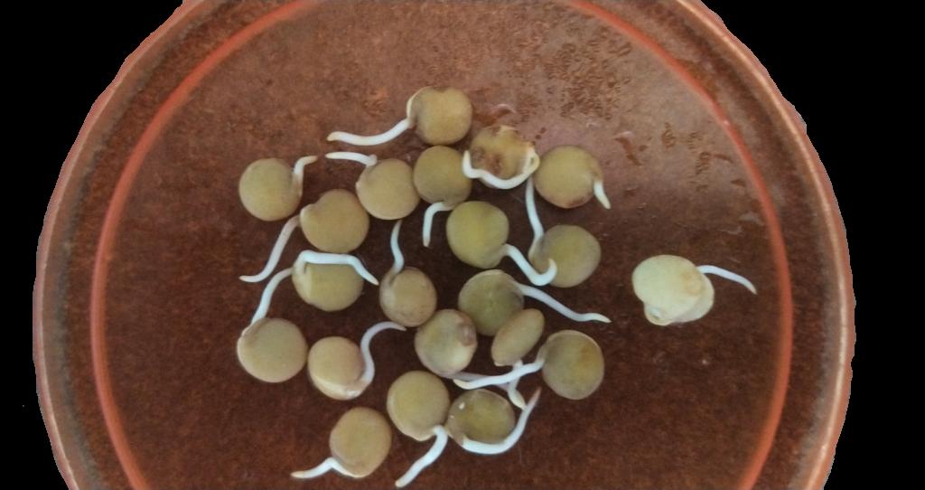 Проростки зеленой чечевицы